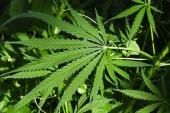 New York Legalizes Medical Marijuana