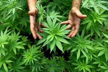 Canada Cannabis Legalization Update