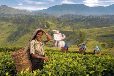 Sri Lanka's First Official Cannabis Plantation
